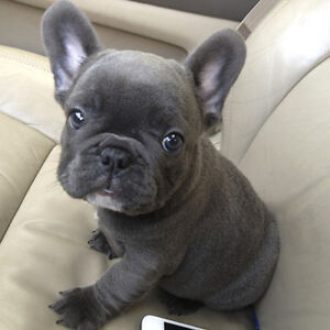 French Bulldog Puppy/ Young - For great new home