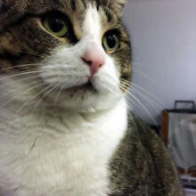 3 year old male cat to loving home West Ryde Ryde Area Preview