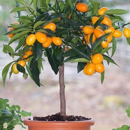 Kumquat Tree In St George Bristol Gumtree