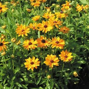 dwarf Rudbeckia perennial plants .. Easy to Grow
