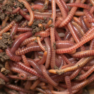 Compost worms farm for sale.. 1L container with approx 1000 worms