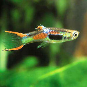 Guppies For Sale | Kijiji in Calgary  - Buy, Sell & Save