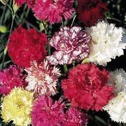Carnation Seeds