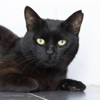 AK1578 : Turtle - CAT for ADOPTION - Vet Work Included