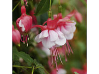 Fuchsia plants Beautiful Large double Red & White flowers - 3 for £5 - Pokesdown BH5 2AB