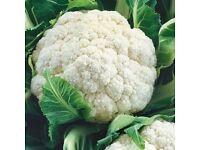 Cauliflower (all year round variety) plants
