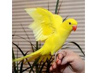 HANID RAISD IBABY PARROT FOR SALE