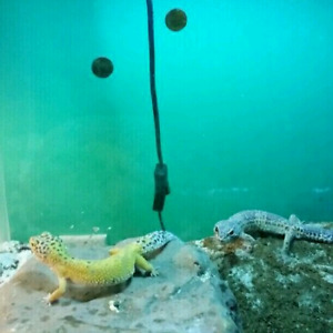 Leopard geckos and bearded dragons