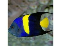 MARINE FISH / THIS IS FOR AN ASFUR ANGELFISH , GREAT LOOKING FISH , FEEDING WELL