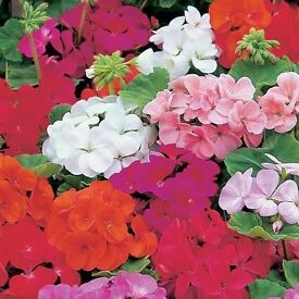 Mixed Colour Geranium Plants, 2 for £1. Flowers June-September. Grow in pots,baskets or window boxes