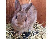 Baby Female Netherland Dwarf Rabbit