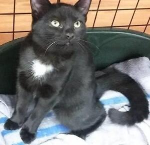 "Young Female Cat - Domestic Short Hair-black: ""Luna"""