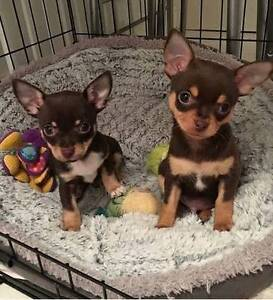 Looking for a chocolate and tan, shorthaired chihuahua