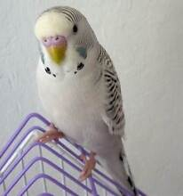 ~ HANDRAISED BABY BUDGIES $50 EACH FOR X'MAS & A NICE PARK HOME ~ Kenwick Gosnells Area Preview