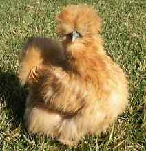 Wanted - buff/gold/champagne silkie eggs Denistone East Ryde Area Preview