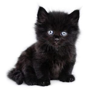 LOOKING FOR MALE BLACK KITTEN WITH BLUE EYES Kitchener / Waterloo Kitchener Area image 1
