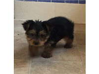 Yorkshire terrier pup for sale