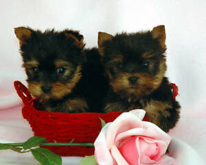 Yorkie or Pomeranian teacup puppy.