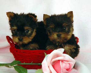 I am looking for a Yorkie or Pomeranian teacup puppy.