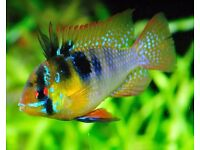 Ram Cichlid (Various Types Available)