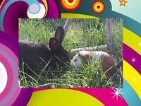 Élevage FAMILIAL de petit lapin et cochon d'inde