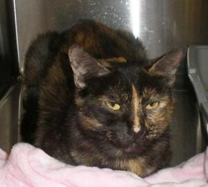 "Adult Female Cat - Domestic Short Hair: ""Pam 16 (PN 137)"""