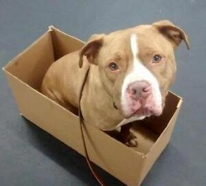 "Young Male Dog - American Staffordshire Terrier: ""Gunna"""