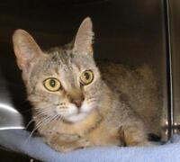 """Adult Female Cat - Domestic Short Hair: """"Wilma 15 (Lusher)"""""""
