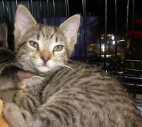 "Baby Female Cat - Domestic Short Hair: ""Maya 15 (under a deck)"""