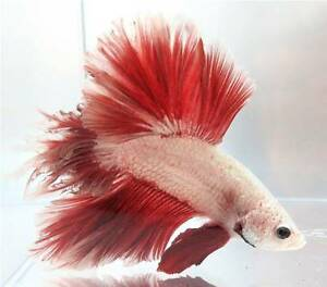 IMPORTED BETTAS FOR RE-HOMING