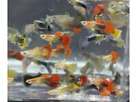 ASSORTED MALE & FEMALE GUPPYS TROPICAL FISH
