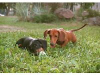 Dachshund Puppies - Vet Checked - PRA clear