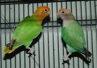 Breeding Colony of Lovebird - 6 Pairs