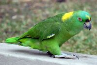 Great talking  young YELLOW NAPE AMAZON MALES