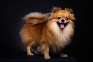 Looking for an older Female Pomeranian-Pomeranien.