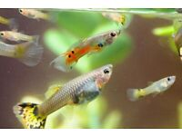 Tropical fish Guppy and Gourami available london