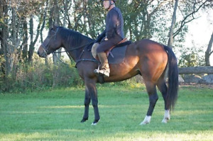 Project Available tb/qh gelding