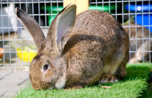 Anyone have a Flemish Giant for sale?