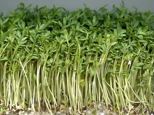 ORGANIC CRESS CURLED / COMMON - 10GM ~ 3500 Seeds **FREE UK P&P**