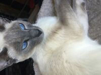 UPDATE 2 LEFT! Loveable cuddly 3/4 Siamese kittens