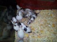 pretty colour mice