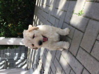 Beautiful Goldendoodle Puppy (Male) Ready to be Rehomed