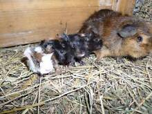 BABY GUINEA PIGS - COPACABANA - AVAIL  FROM 10 JUNE Mangrove Mountain Gosford Area Preview
