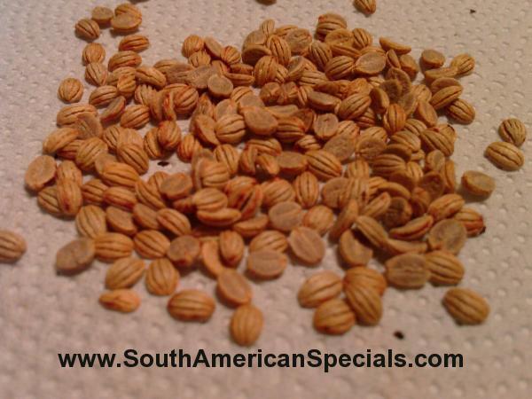 1000+ TRUE Psychotria viridis seeds Fresh and Viable Chacruna Chacrona Yage