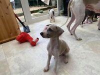 Wiggy puppy