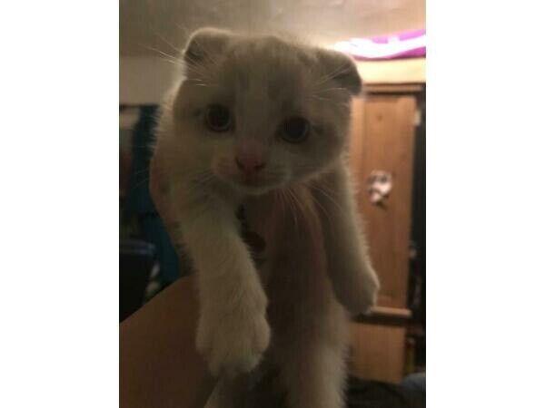 Scottish Fold X Ragdoll Cross Kittens For Sale In Thorneywood Nottinghamshire Gumtree