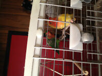 2 x INSEPARABLE LOVEBIRDS WITH CAGE