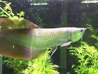 Arowana Moderate Live Aquarium Fish