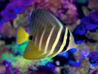 MARINE FISH / LOVELY SIZE AND COLOUR PACIFIC SAILFIN TANG .FROM FIJI .
