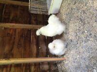 Gorgeous Pair of White Silkies